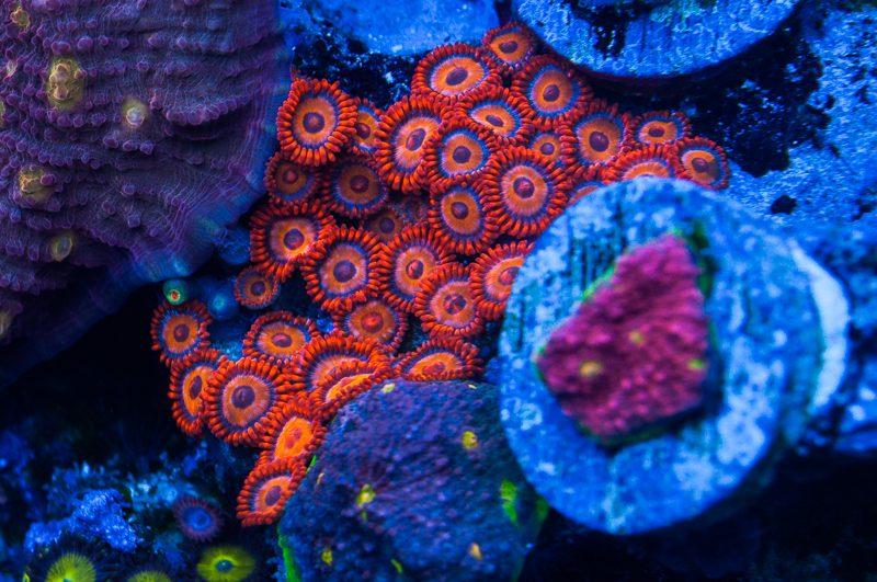 Морские кораллы под светильником EcoTech Marine Radion