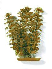 Растение Амбулия оранжевая 30 см