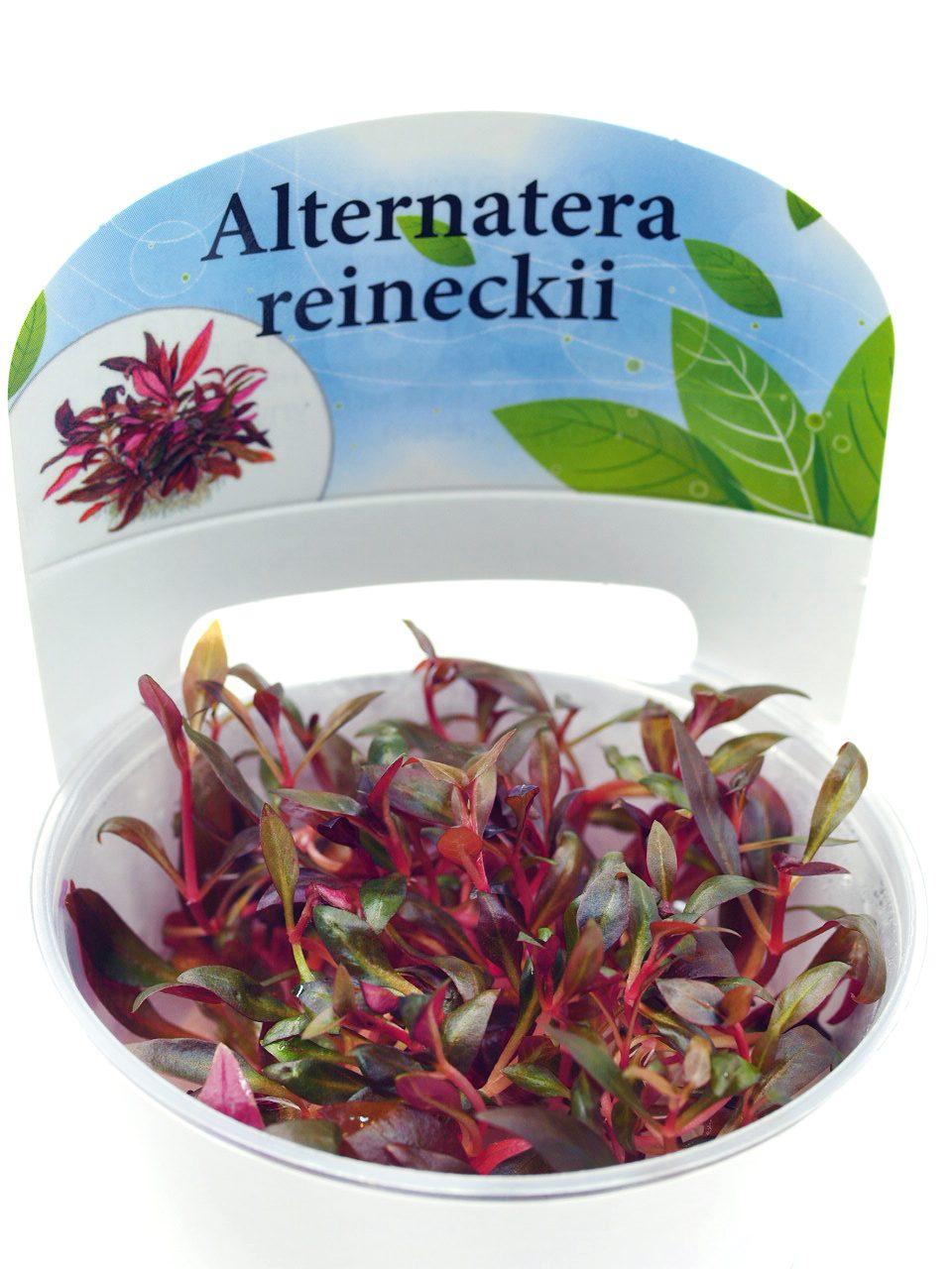 "Альтернантера мини (Alternanthera reineckii ""mini"")"