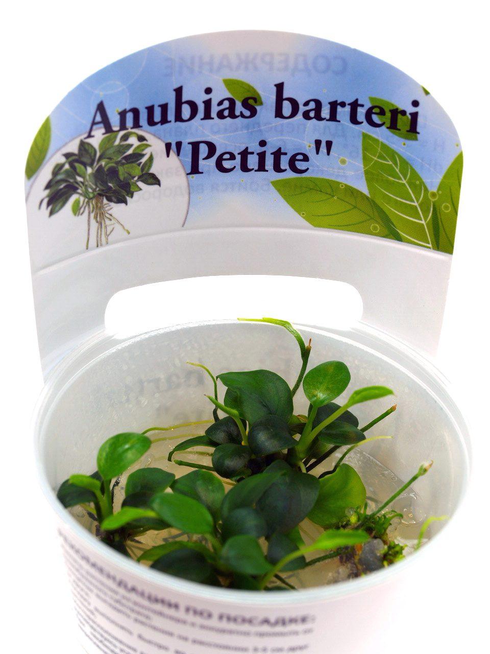 "Анубиас Петит (Anubias barteri ""Petite"") ARU-11712"