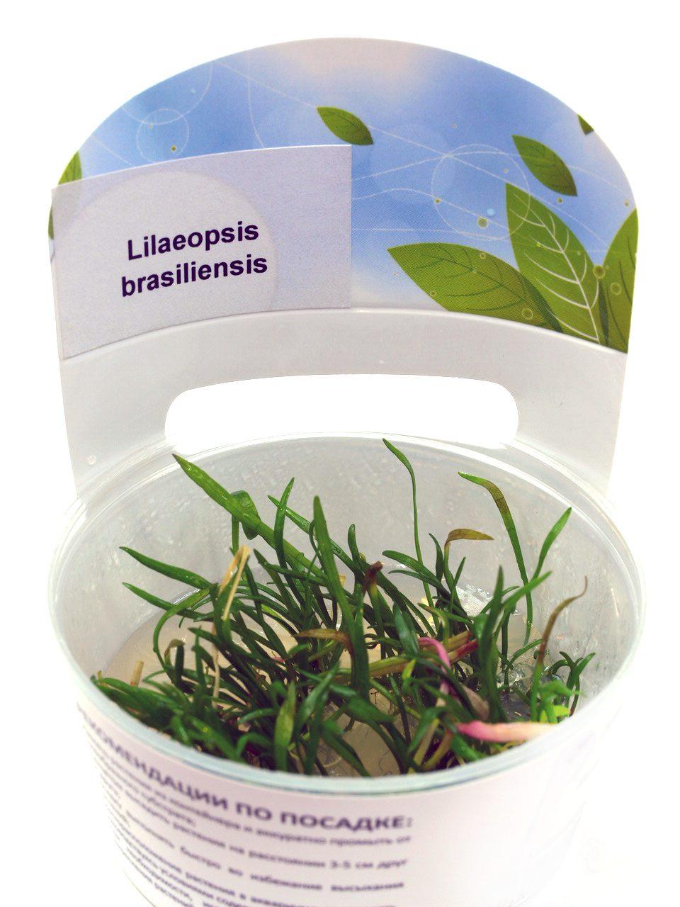 Лилеопсис бразильский (Lilaeopsis brasiliensis) ARU-11718