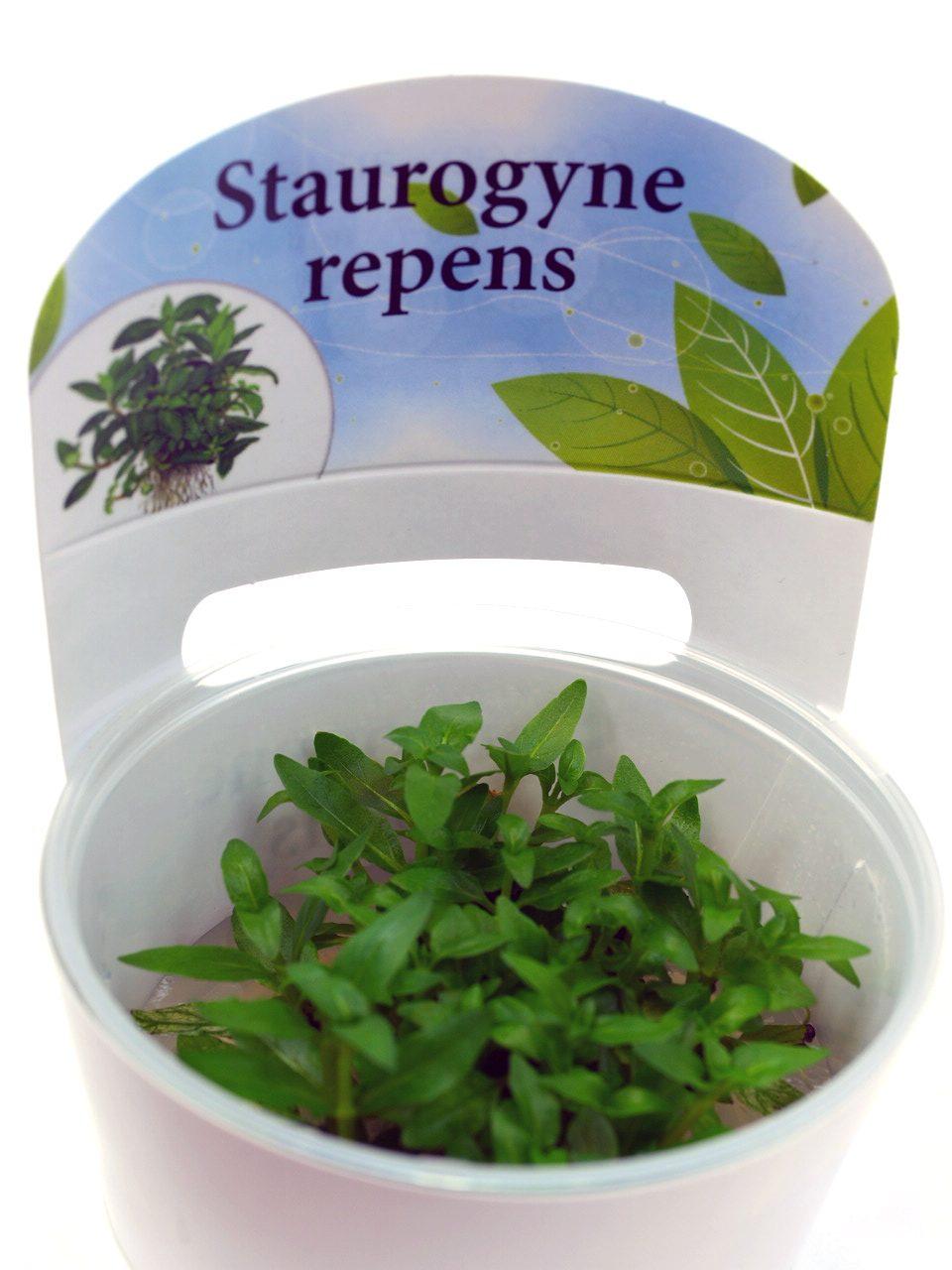 Стаурогин ползучий (Staurogyne repens), фото 1