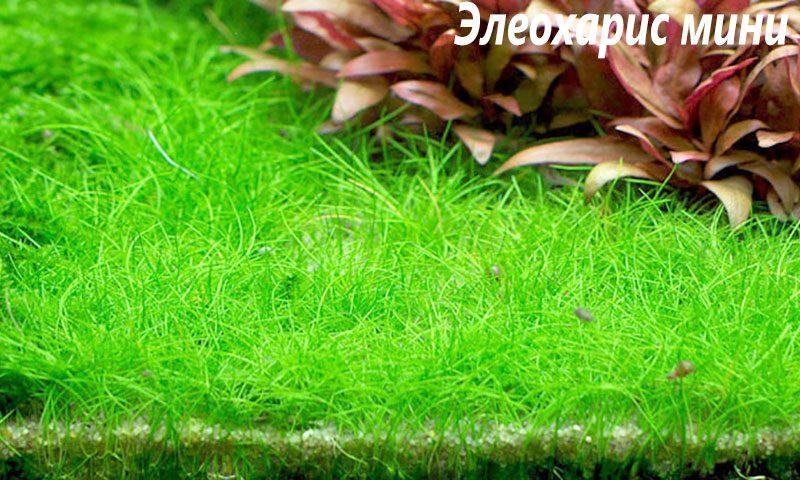 Элеохарис мини (Eleocharis sp. Mini)