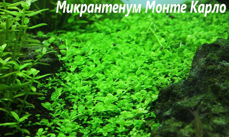"""Микрантемум монтекарло (Micranthemum sp. """"Monte Carlo"""")"""
