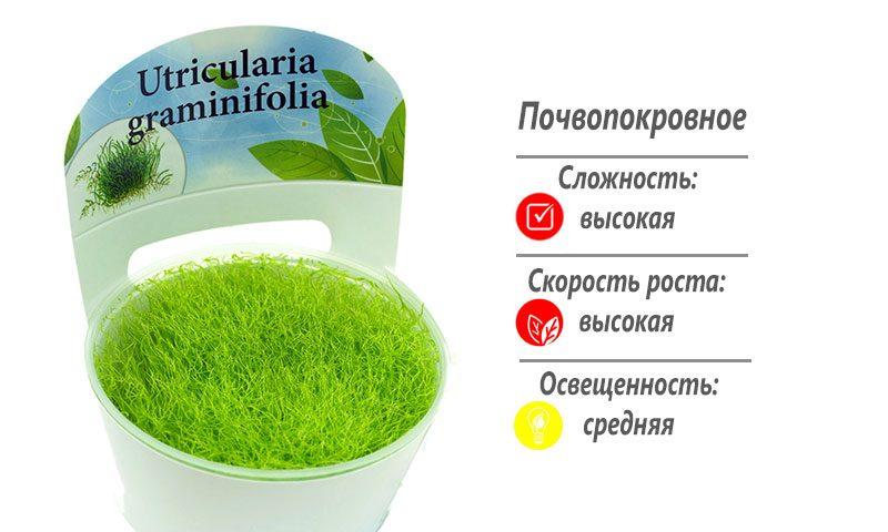 Утрикулярия (Utricularia graminifolia)