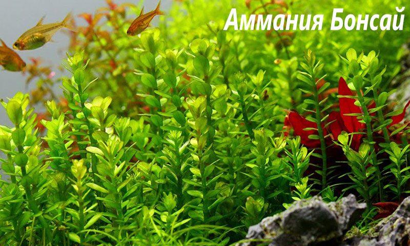 "Аммания Бонсай (Ammania sp ""Bonsai"") ARU-11702"