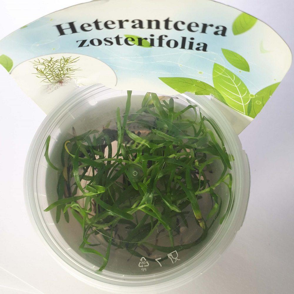 Гетерантера остролистная (Heterantcera zosterifolia) ARU-11711