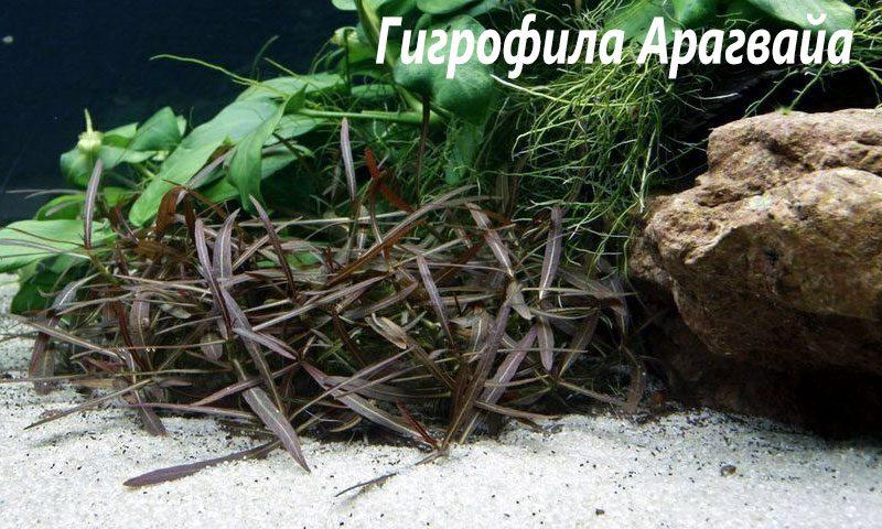 "Гигрофила арагвайя (Hygrophila sp. ""Araguaia"") ARU-11720"