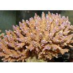 Акропора цветная L Acropora sp.