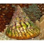 Улитка-водорослеед волчок полосатый M Trochus virgatus