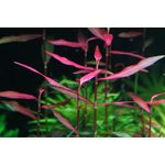 "Полигониум (Persicaria sp. ""Kawagoeanum""), фото 1"