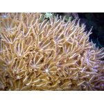 Антелия Пульсирующий коралл M Anthelia sp. K4f10/M