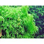 Мох Плакучий Vesicularia ferriei Weeping, фото 1