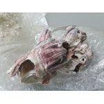 Коралл балянус 3-5 (boleanus) 7-13см