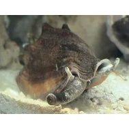 Стромбус черноротый M Strombus urceus