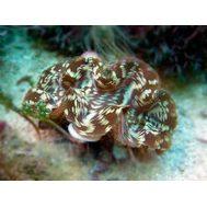 Тридакна сквамоза чешуйчатая L Tridacna squamosa K6x35/L