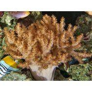 Альциониум L Alcyonium sp. K4j00/L