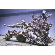 Камни живые ветвистые - Индонезия кг. M Live rocks