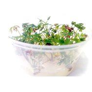 Лютик водный (Ranunculus inundatus)