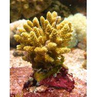 Акропора цветная M Acropora sp.