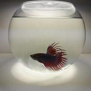 Рыбка Петушок + Аквариум (в ассортименте)