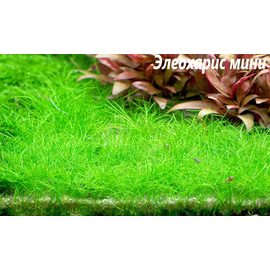Элеохарис мини (Eleocharis sp. Mini)