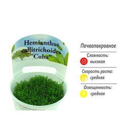 "Хемиантус Куба (Hemianthus callitrichoides ""Cuba"")"