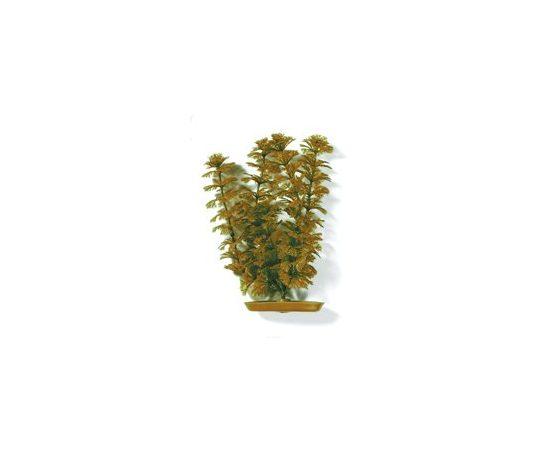Растение Амбулия оранжевая 30 см , фото , изображение 2