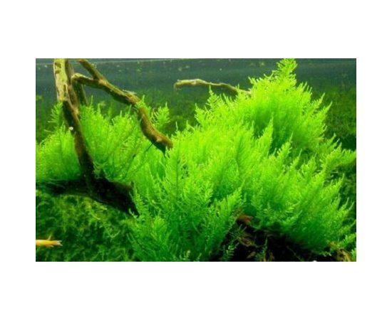 Мох Стринг (Leptodictyum riparium), - 1 -aquamagaz.ru