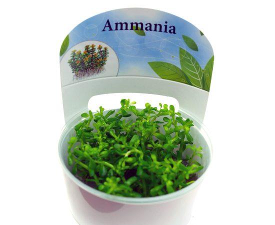 """Аммания Бонсай (Ammania sp """"Bonsai""""), фото 3"""