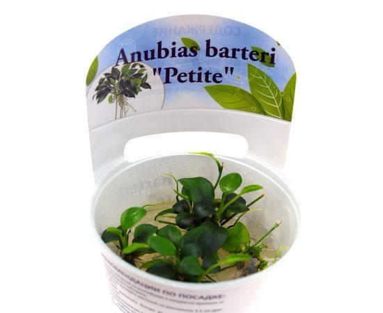 Анубиас Петит Anubias barteri Petite, фото , изображение 2