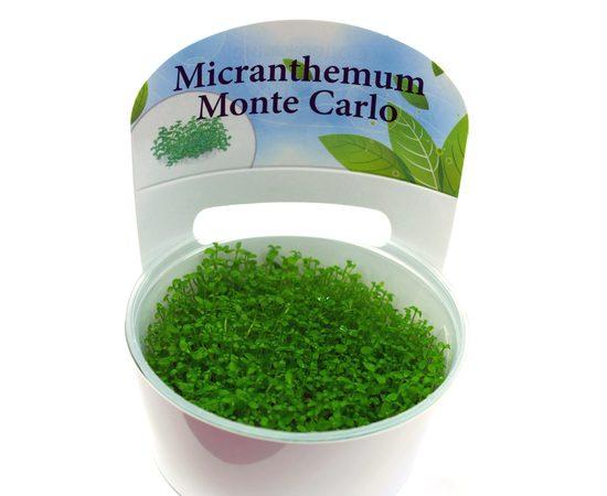 "Микрантемум монтекарло (Micranthemum sp. ""Monte Carlo""), - 3 -aquamagaz.ru"