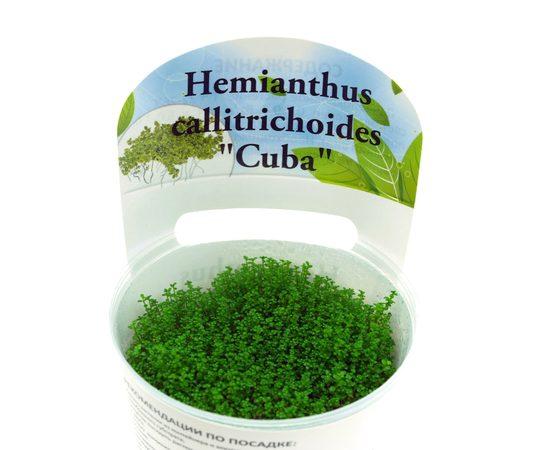 """Хемиантус Куба Hemianthus callitrichoides """"Cuba"""", - 3 -aquamagaz.ru"""