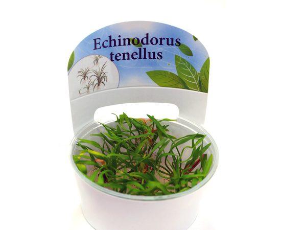 Эхинодорус тенелус Echinodorus tenellus, - 4 -aquamagaz.ru
