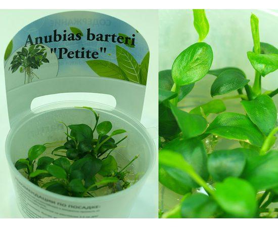 Анубиас Петит Anubias barteri Petite, фото , изображение 3
