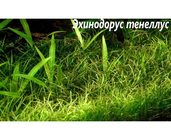 Эхинодорус тенелус Echinodorus tenellus, - 2 -aquamagaz.ru