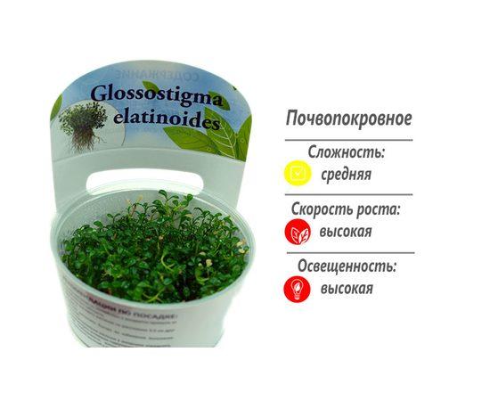 Глоссостигма повойничковая (Glossostigma elatinoides ), фото