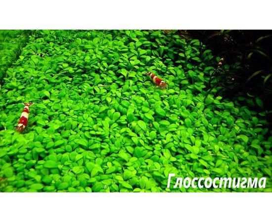 Глоссостигма повойничковая (Glossostigma elatinoides ), фото , изображение 4