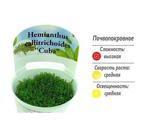 """Хемиантус Куба Hemianthus callitrichoides """"Cuba"""", - 1 -aquamagaz.ru"""