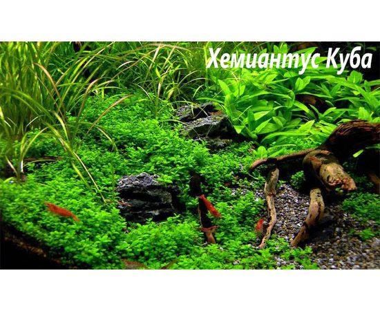 """Хемиантус Куба Hemianthus callitrichoides """"Cuba"""", - 2 -aquamagaz.ru"""