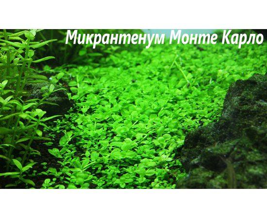 "Микрантемум монтекарло (Micranthemum sp. ""Monte Carlo""), - 4 -aquamagaz.ru"