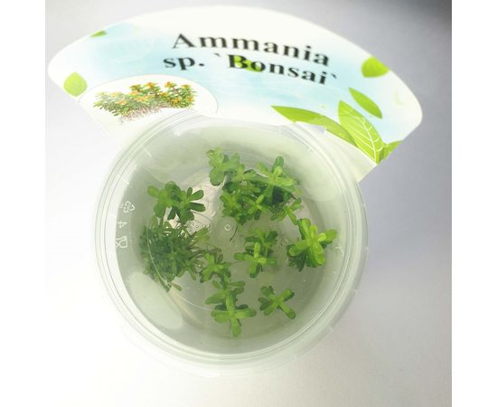 """Аммания Бонсай (Ammania sp """"Bonsai""""), фото 1"""