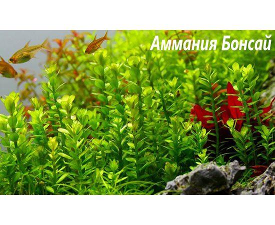 "Аммания Бонсай (Ammania sp ""Bonsai""), - 2 -aquamagaz.ru"