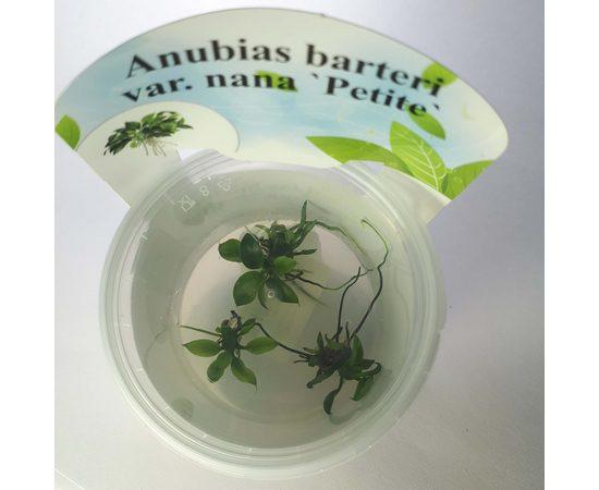 Анубиас Петит Anubias barteri Petite, фото
