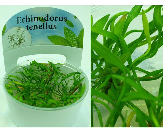 Эхинодорус тенелус Echinodorus tenellus, - 3 -aquamagaz.ru