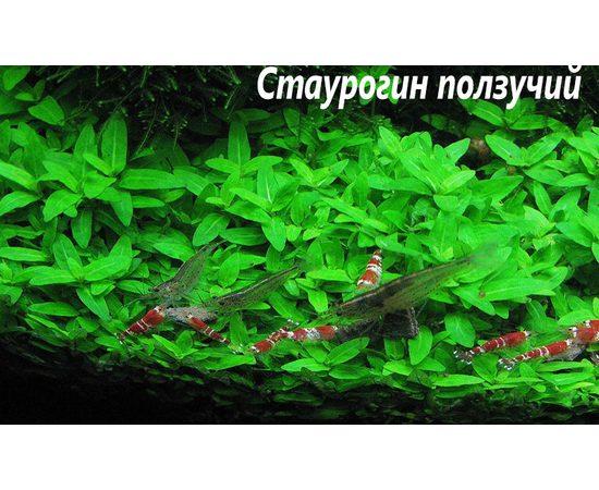 Стаурогин ползучий (Staurogyne repens), - 2 -aquamagaz.ru