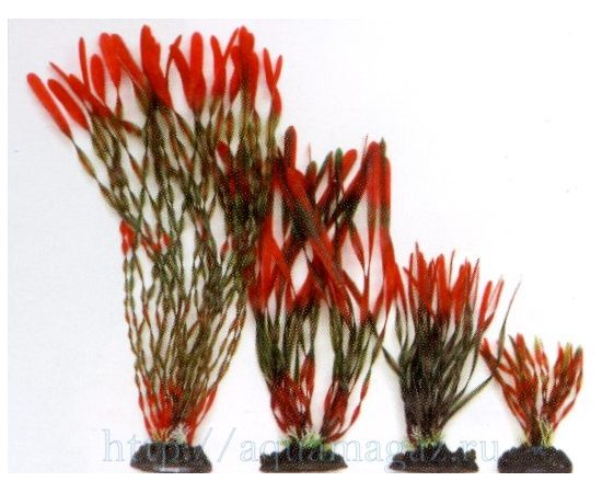 Растение Валлиснерия спиральная 30см красно-зеленое, - 1 -aquamagaz.ru