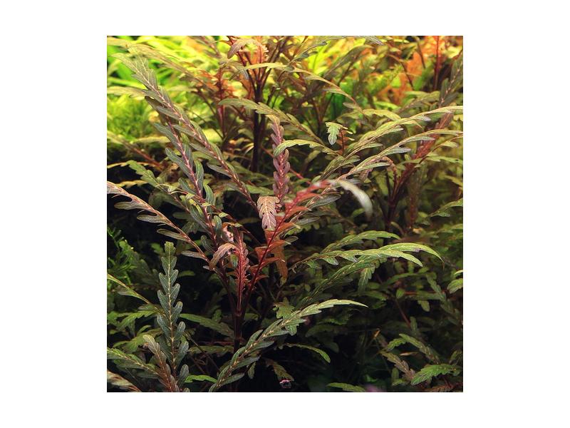 Гидрокотила трипартита (Hydrocotyle tripartita) ARU-11721