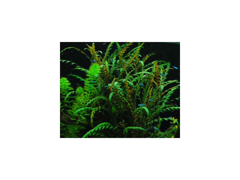 Гигрофила Пиннатифида ( Hydrophila pinnatifida ), фото 1